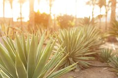 Gruppo di cespugli del cactus sul giardino floreale decorativo di agave Immagini Stock