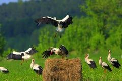 Gruppo di cicogne bianche che si alimentano le zone umide in un periodo di incastramento della molla Fotografia Stock Libera da Diritti