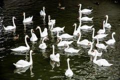 Gruppo di cigni bianchi con le anatre nell'acqua Fotografie Stock