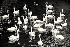 Gruppo di cigni bianchi con le anatre nell'acqua, incolore Immagine Stock Libera da Diritti