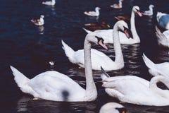 Gruppo di cigni muti nel lago Alster vicino municipio Amburgo, Germania Immagine Stock