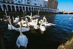 Gruppo di cigni muti nel lago Alster vicino municipio Amburgo, Germania Fotografia Stock