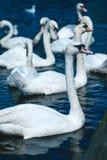 Gruppo di cigni muti nel lago Alster vicino municipio Amburgo, Germania Immagine Stock Libera da Diritti