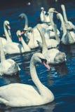 Gruppo di cigni muti nel lago Alster vicino municipio Amburgo, Germania Immagini Stock Libere da Diritti