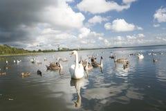 Gruppo di cigni su un lago Fotografia Stock
