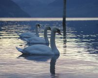 Gruppo di cigni sul lago fotografie stock