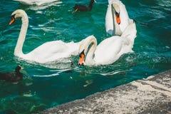 Gruppo di cigno bianco sul lago geneva Leman Fotografia Stock