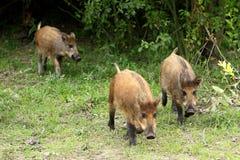 Gruppo di cinghiali giovanili in una foresta durante il periodo di estate Immagine Stock Libera da Diritti