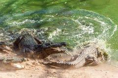 Gruppo di coccodrilli o di alligatori feroci che combattono per la preda sotto l'acqua Fotografia Stock