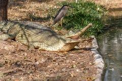 Gruppo di coccodrilli o di alligatori feroci che prendono il sole in sole Immagine Stock