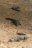 Gruppo di coccodrilli o di alligatori feroci che prendono il sole in sole Fotografie Stock