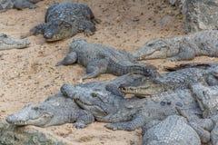Gruppo di coccodrilli o di alligatori feroci che prendono il sole in sole Immagini Stock