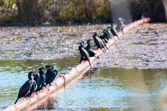 Gruppo di cormorani Fotografia Stock Libera da Diritti