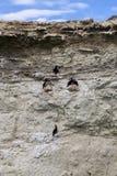 Gruppo di cormorani ad una scogliera vicino a Puerto Madryn Immagini Stock