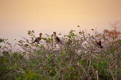 Gruppo di cormorani nel tramonto Immagine Stock