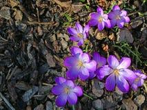Gruppo di croco porpora di fioritura nel pacciame della corteccia, vista superiore immagine stock