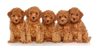 Gruppo di cuccioli del barboncino di giocattolo immagini stock libere da diritti
