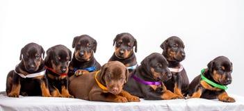 Gruppo di cuccioli del dobermann Immagine Stock