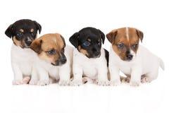 Gruppo di cuccioli del terrier di russell della presa Fotografie Stock