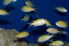 Gruppo di damselfish verde di Chromis Fotografie Stock Libere da Diritti