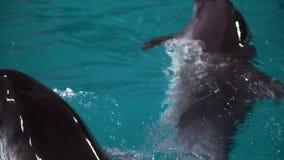 Gruppo di delfini che nuotano in acqua blu in stagno video d archivio
