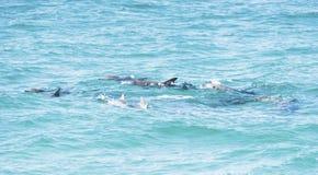 Gruppo di delfini che nuotano insieme Fotografia Stock