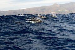 Gruppo di delfini vicino a La Gomera fotografia stock libera da diritti