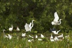 Gruppo di egrette bianche che guadano in una palude in Florida Immagine Stock