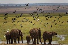 Gruppo di elefante che va bere nell'area della palude in Tarangire fotografia stock libera da diritti