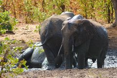 Gruppo di elefanti africani che bagnano in uno stagno fangoso Kruger, Sudafrica fotografia stock