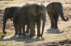 Gruppo di elefanti africani nell'ambiente naturale Fotografia Stock Libera da Diritti
