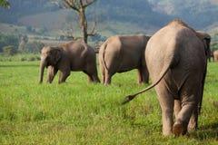 Gruppo di elefanti asiatici Immagini Stock