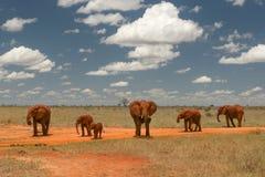 Gruppo di elefanti che camminano sulla savanna africana, con la SK contrasty Immagine Stock