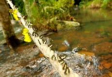 Gruppo di farfalla variopinta sulla corda nella foresta Immagine Stock