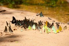 Gruppo di farfalle Immagine Stock Libera da Diritti