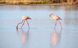 Gruppo di fenicotteri che mangiano nella laguna Immagini Stock Libere da Diritti
