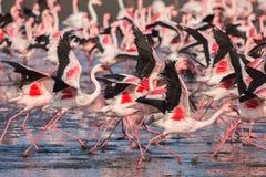 Gruppo di fenicotteri minori che prendono volo immagini stock libere da diritti