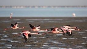 Gruppo di fenicotteri minori in volo Fotografie Stock Libere da Diritti
