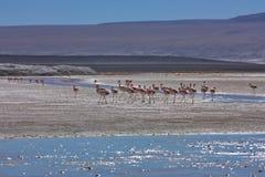 Gruppo di fenicottero sul altiplano in Bolivia Fotografia Stock Libera da Diritti