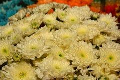 Gruppo di fiore giallo del crisantemo Fotografia Stock