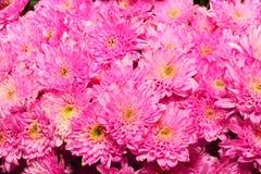 gruppo di fiore rosa del crisantemo Fotografie Stock Libere da Diritti