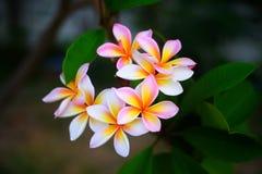 Gruppo di fiori bianchi gialli del frangipane, plumeria, fotografia stock