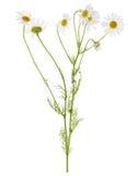 Gruppo di fiori della camomilla sul gambo immagine stock