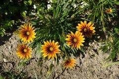 Gruppo di fiori nel giardino con i colori luminosi Immagini Stock Libere da Diritti
