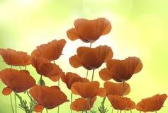 Gruppo di fiori rossi dei papaveri Fotografie Stock Libere da Diritti