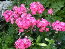 Gruppo di fiori in un giardino Fotografia Stock Libera da Diritti