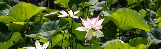 Gruppo di foglie e di fiori dei fiori di loto, vista panoramica Immagini Stock Libere da Diritti