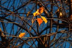 Gruppo di foglie variopinte rosse e gialle dell'albero dell'ciliegia-uccello e di rami nudi sui precedenti di cielo blu profondo Immagine Stock