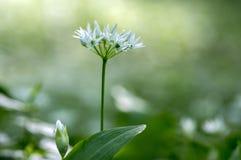 Gruppo di fondo confuso erbaceo dei fiori e delle foglie di ursinum bianco dell'allium in erba sana della foresta del carpino bel Immagine Stock