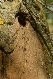 Gruppo di formiche che annidano nell'albero immagine stock libera da diritti